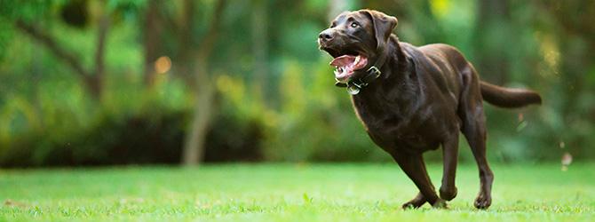 chocolate labrador running on grass