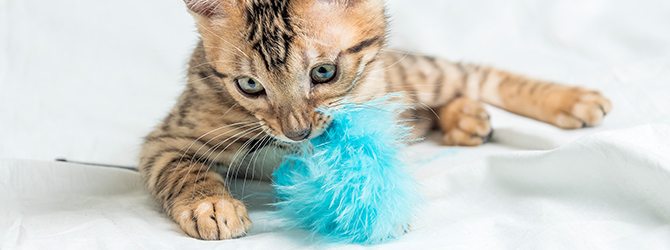 cat playing with fluffy blue toy