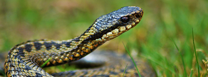 adder coiled with head pointing up