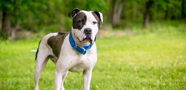 black and white american bulldog wearing a collar