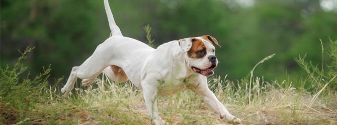 white and brown american bulldog running