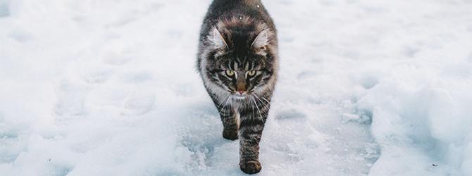 cute cat walking through snow