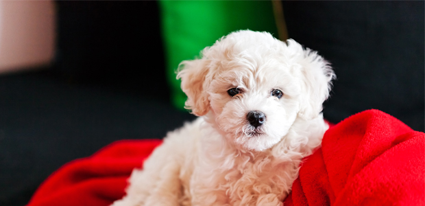 bichon frise puppy on red blanket