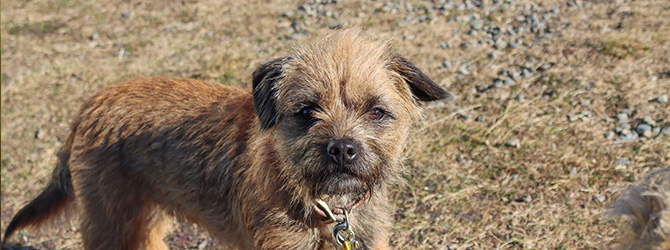 border terrier up close to camera