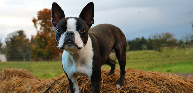 brown and white boston terrier standing in a field