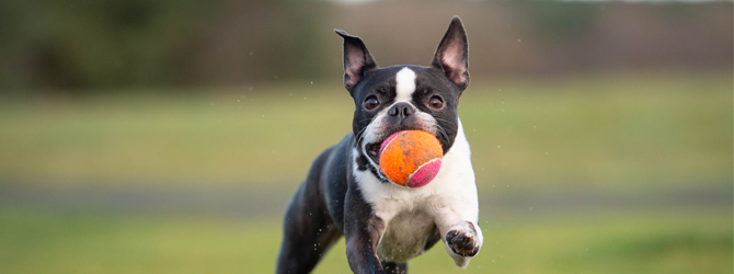 a boston terrier with an orange ball in its mouth