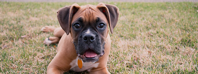boxer in field with tongue out