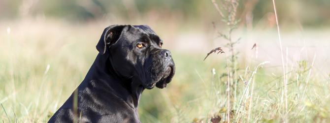 black cane corso dog sitting in a field