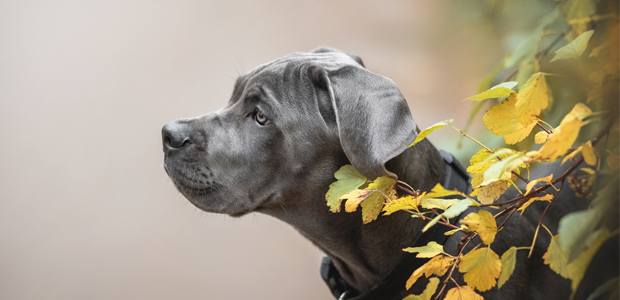 blue cane corse puppy sitting by leaves