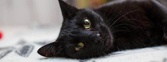 beautiful black cat lying down