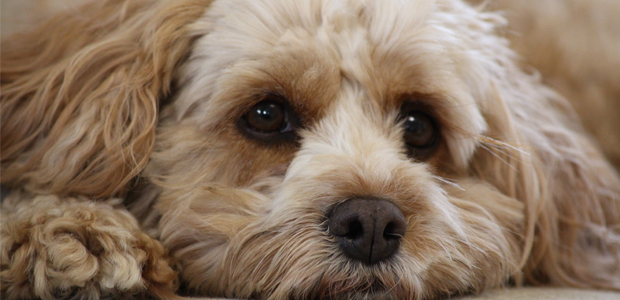fawn cavapoo laying down