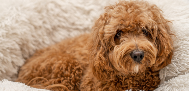 brown cavapoo laying in bed