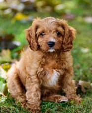 cavapoo puppy sitting on grass