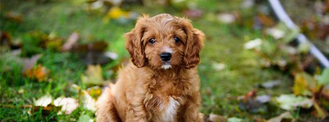 golden cavapoo puppy