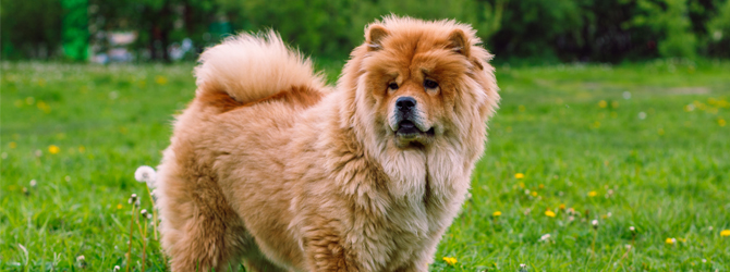 golden fluffy chow chow standing in a field