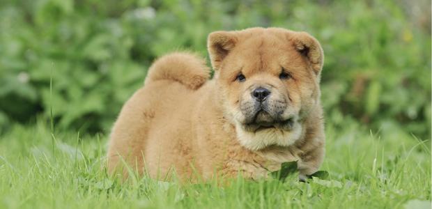 golden chow chow puppy walking in grass