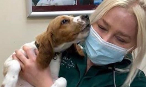 cocker spaniel puppy cuddling a nurse in a mask