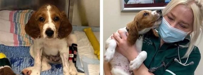 Spaniel puppy treated for parvovirus