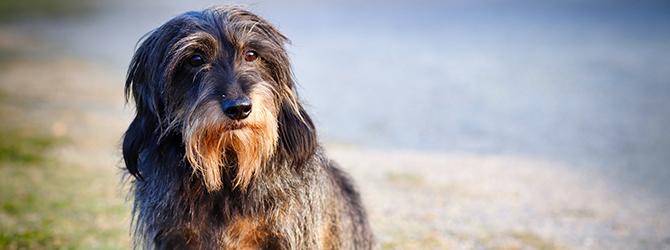 black dachshund sitting on grass