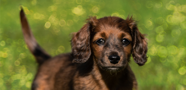 cute brown puppy in the park
