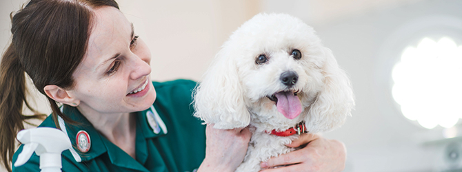 poodle having check-up with vet