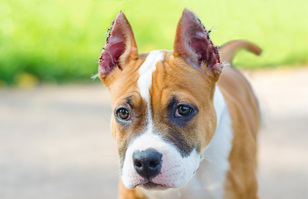 a dog with cropped ears