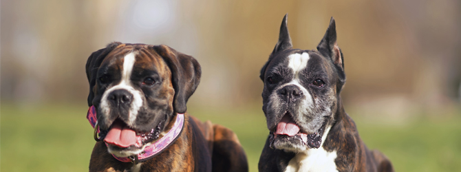 two dogs, one with cropped ears, one without