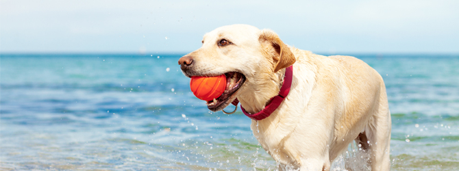 golden labrador playing with a ball in the sea
