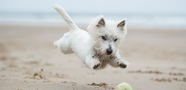 west highland terrier chasing a ball on the beach