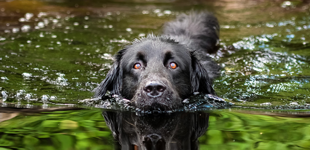 black dog swimming in a river