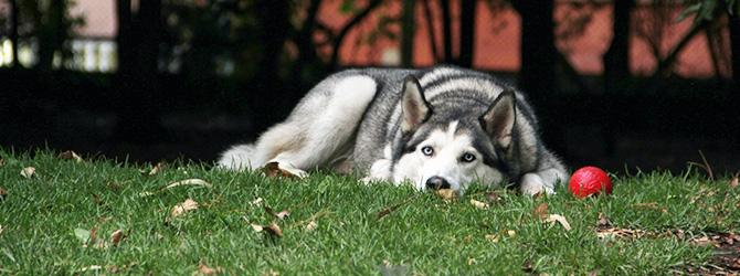 german shepherd lying down in front of owner