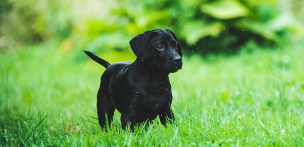 black puppy on grass