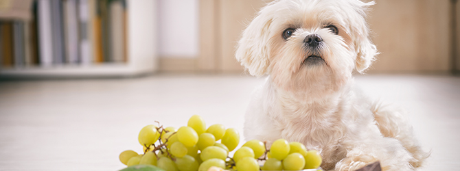 dog in front of poisonous foods