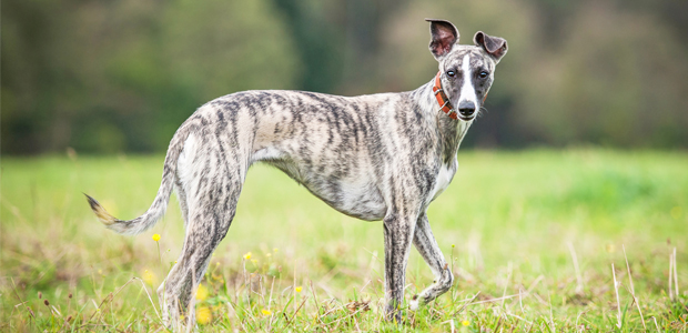 brindle whippet walking in a field
