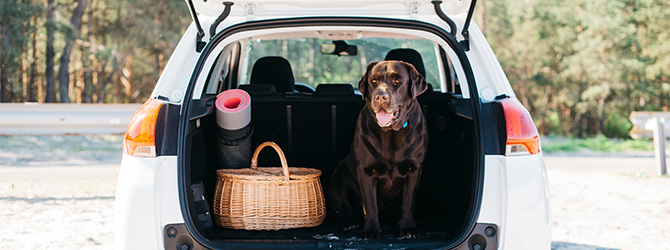 chocolate labrador in back of car
