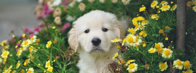 Golden puppy sitting in flowers
