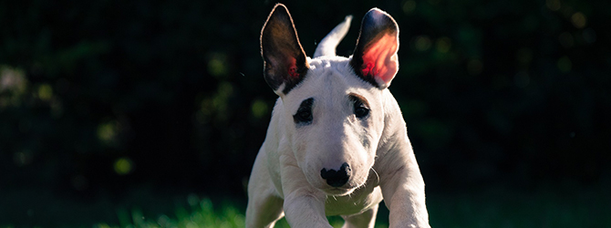 white bull terrier with tongue out