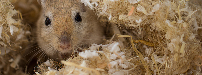 gerbil popping out of hideout