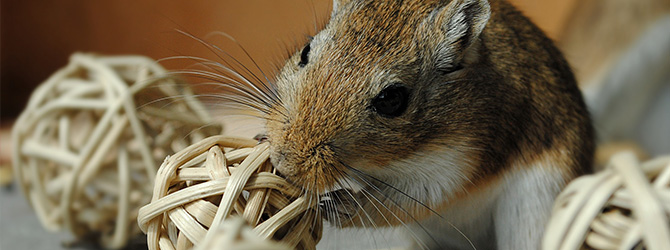 gerbil chewing at ball of straw