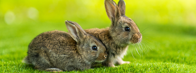 two bunnies on field with dandelions