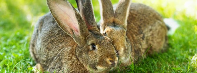 Rabbit neutering
