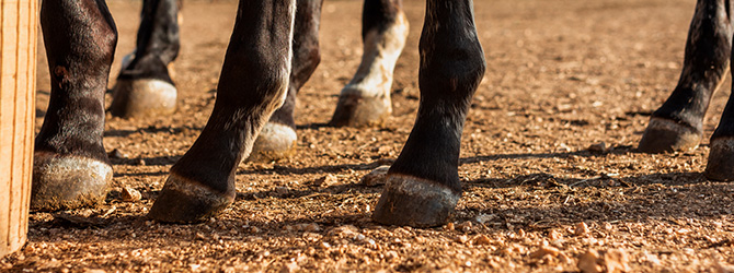 horse's hooves close-up