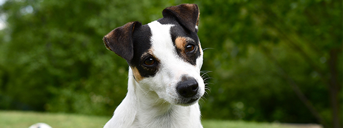 jack russell in field looking at camera