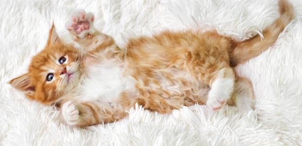 ginger kitten playing on fluffy rug