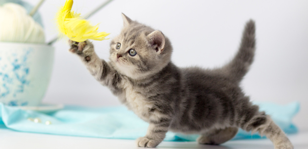 stripy kitten playing with yellow feather