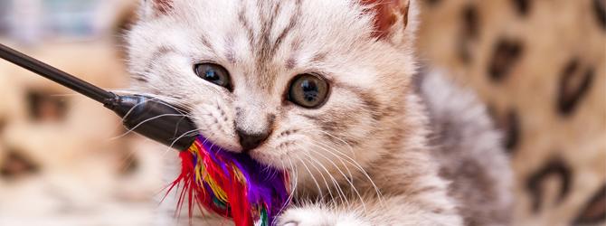 cute stripy kitten biting a toy