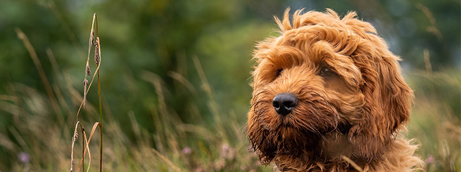 labradoodle sticking tongue out