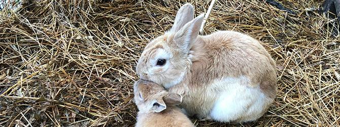 grey rabbit in golden hay