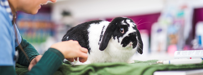 black and white bunny being checked by vet