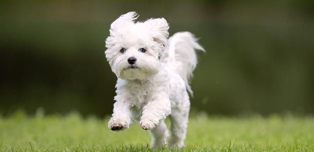 Maltese dog running on grass